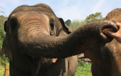 An Elephant smelling an apple (Hoi-Lam Jim)