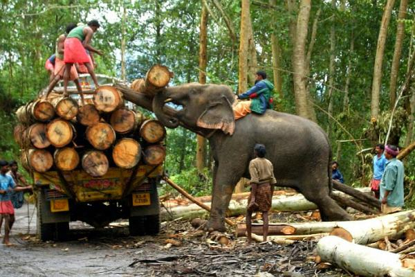 Threat to Asian Elephants from captivity